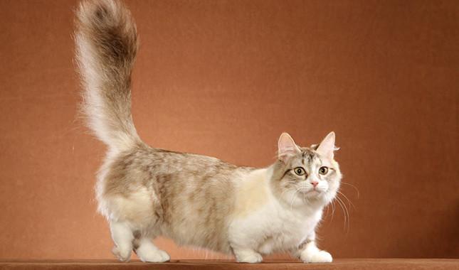 munchkin-cat-02
