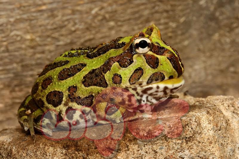 pacman_frog_2_by_macrojunkie