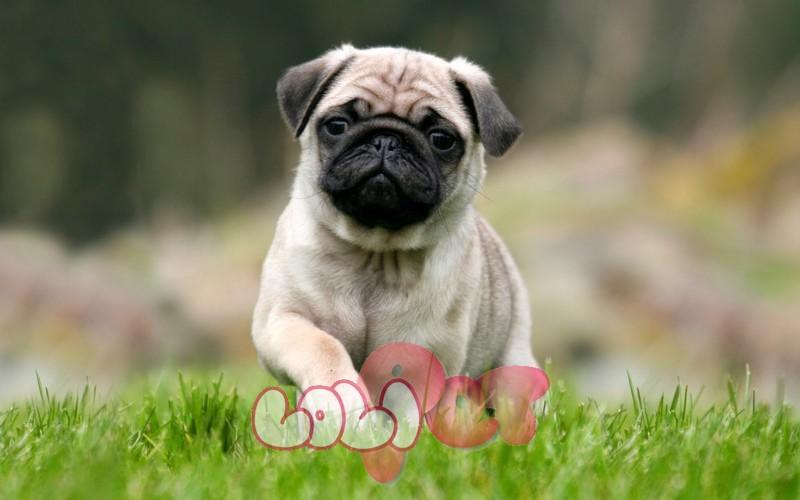 Pug là một giống chó cảnh đại diện cho sự ngộ nghĩnh, hiền lành và đáng yêu.