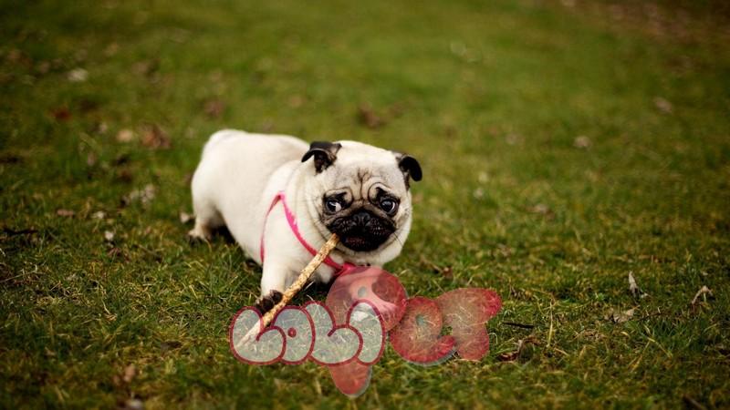 Pug là đại diện cho sự vui vẻ, yêu thương, hoạt bát