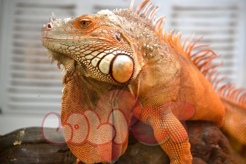 rusty-the-red-iguana