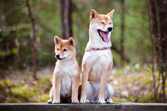 adorable shiba inu dog with a puppy