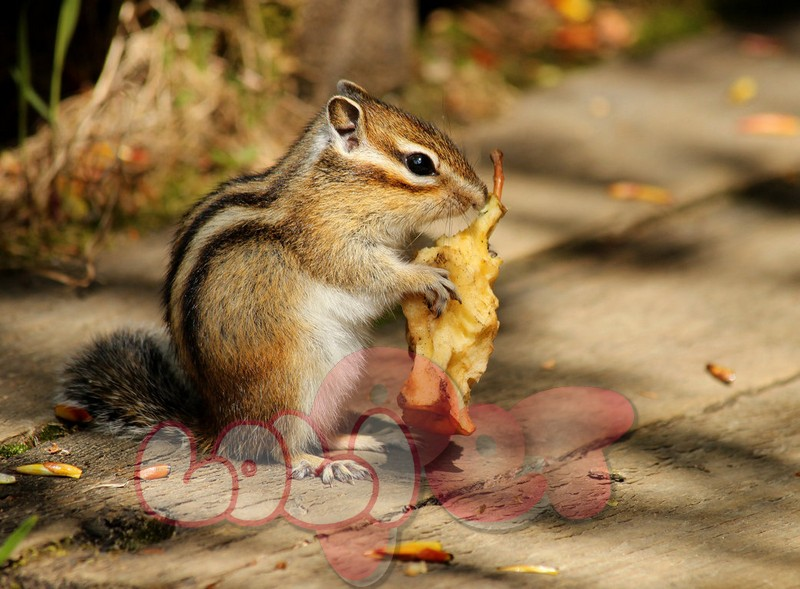 siberian_chipmunk_by_nachiii-d6e0dec