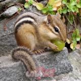 soc chipmunk (12)