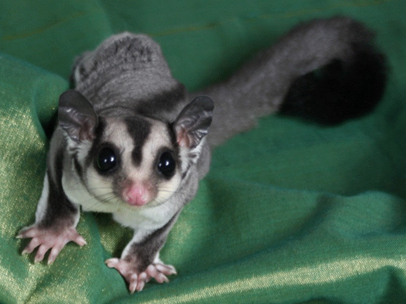 sugar-gliders-as-pets