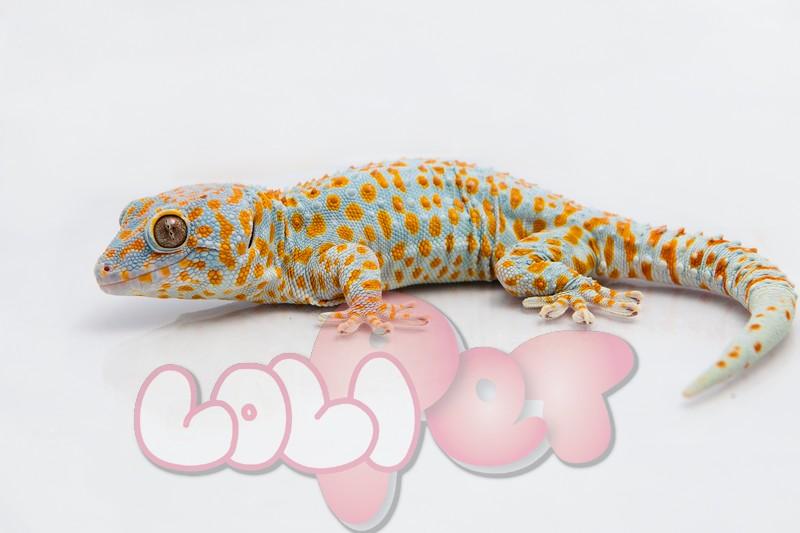 tokay_gecko_gekko_gecko