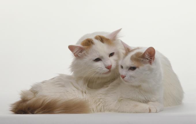 Two Turkish Van Cats (Felis sylvestris catus) cuddling.